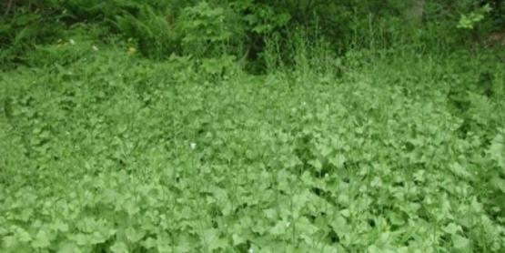 Garlic Mustard infestation