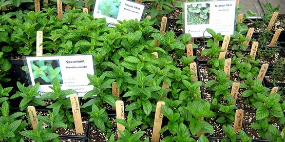 trays of mint plants for sale at the 2017 Master Gardener Spring Garden Fair and Plant Sale, Ithaca NY