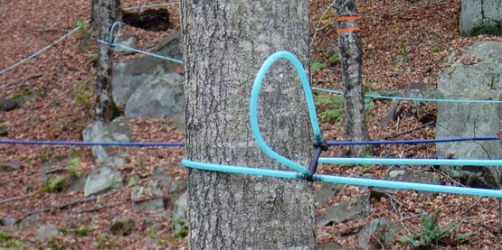 maple tubing on sugar maple trees