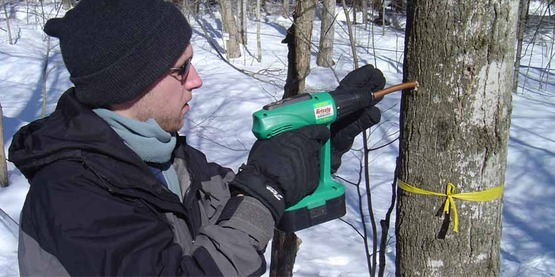 drilling maple trees to insert tap lines