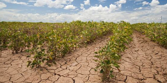 soybean crop in drought
