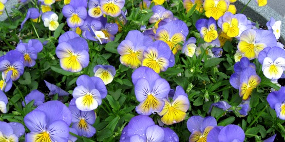 Pansies are an annual that provides early blooms.