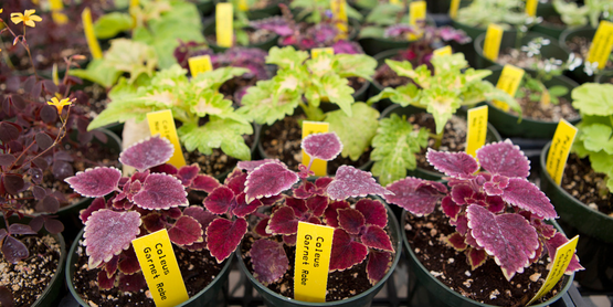 Coleus plants in a greenhouse