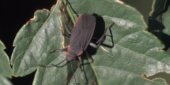 goldenrain-tree bug,  Jadera haematoloma