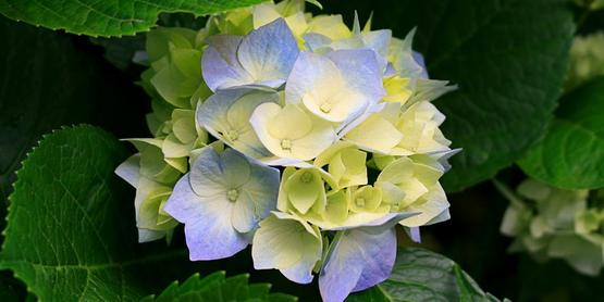 Take care in pruning your hydrangeas for maximum flowering.