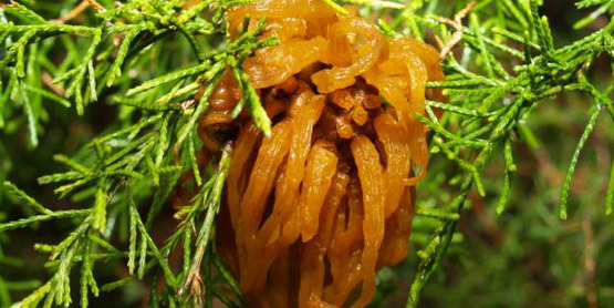 Typical cedar-apple rust gall found in moist spring weather on juniper host.