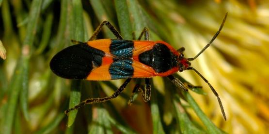 large milkweed bug  Oncopeltus fasciatus