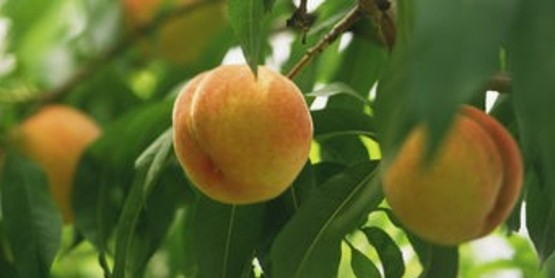 Peaches are always good and easy to grow.