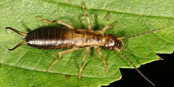 A European earwig. Note the pair of forceps on the tip of the abdomen.
