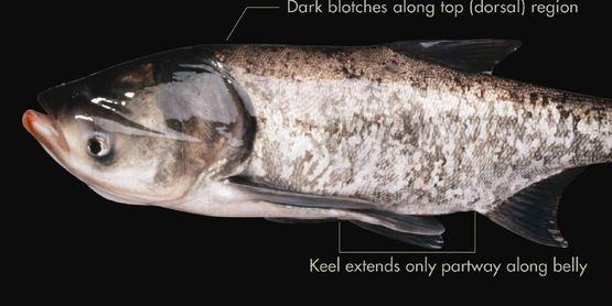 Asian carp bighead carp Hypophthalmichthys nobilis