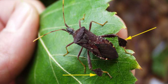 An adult western conifer seed bug. Arrows indicate leaf-like expansions on the hind legs.