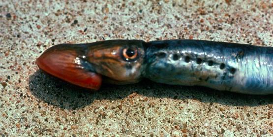 sea lamprey  Petromyzon marinus