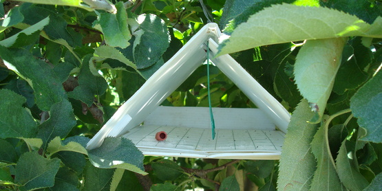 Pheromone trap hung to monitor pests in fruit orchards.