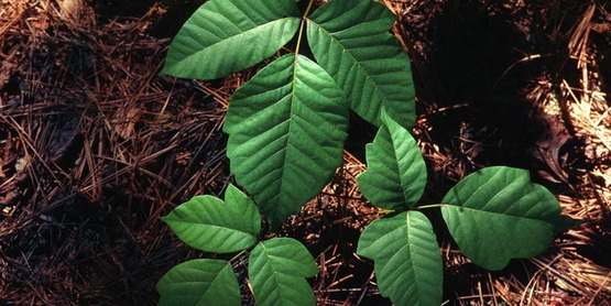 Poison Ivy  Toxicodendron radicans