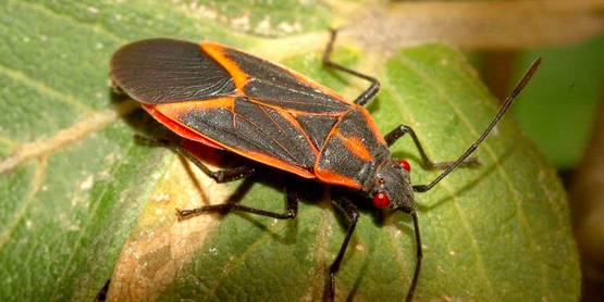 boxelder bug  Boisea trivittata