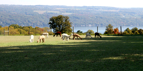 alpacasa grazing in a field, Cayuga Lake in the background, from their facebook page