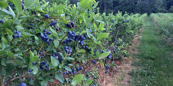 blueberries in the field at Grisamore Farms, from their Facebook page