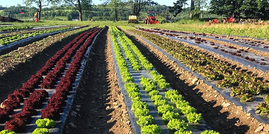 lettuce growing in fields at Main Street Farms, from their Facebook page
