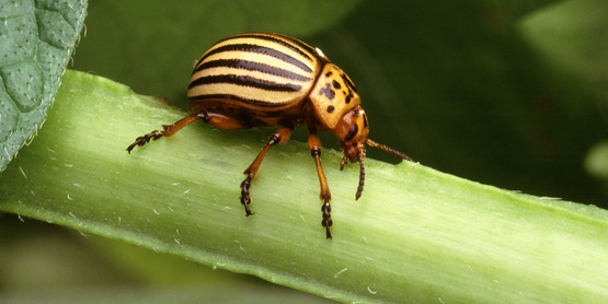 Colorado potato beetle / Leptinotarsa decemlineata (Say, 1824)