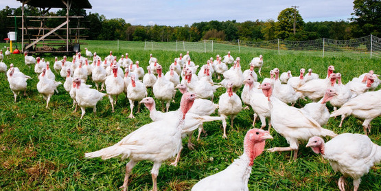 turkeys in pasture at Just A Few Acres farm, from their Facebook page