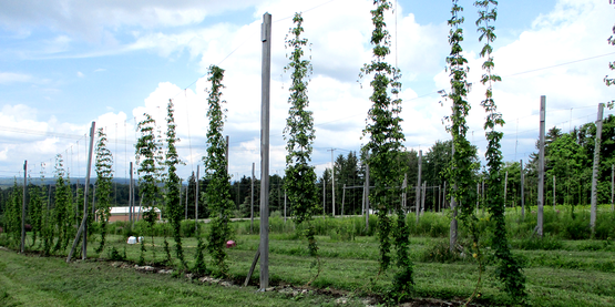 hops vines growing at Hopshire Farms