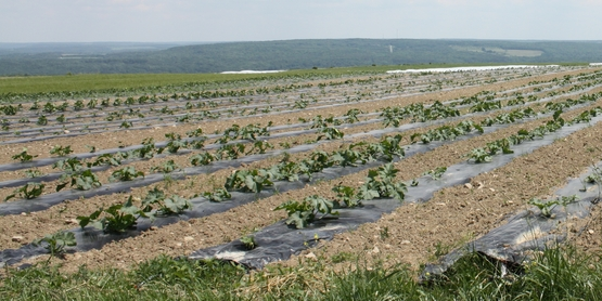 Field vegetable production