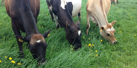 Dairy cows graze on a fresh paddock at Murphy's Grass Farm.