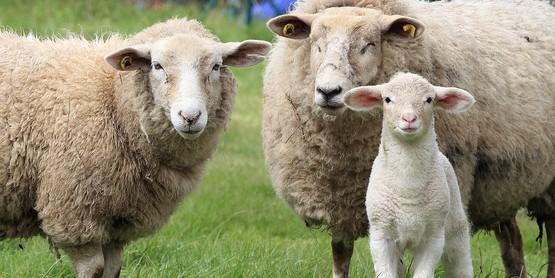 small ruminants (sheep or goat)