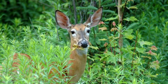 A deer eating vegetation
