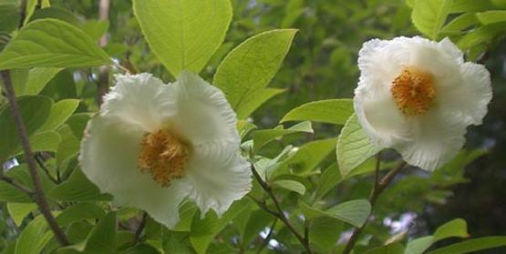 Stewartia pseudocamellia, Japanese Stewartia - 2000