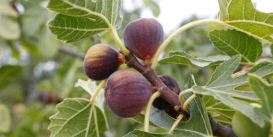 figs, ripe and ready for harvest