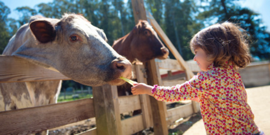 toddler with cows