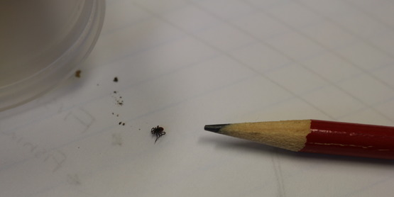 Tick next to pencil, taken 5-19-19