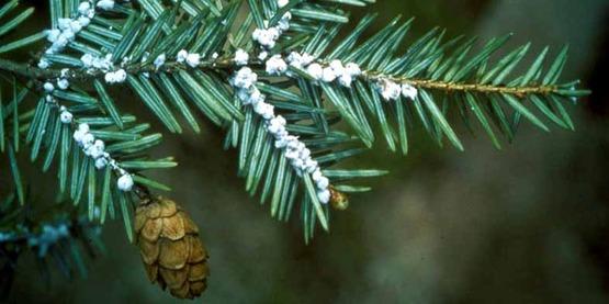 Hemlock woolly adelgid  (Adelges tsugae) -adult