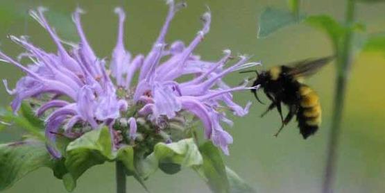 wild bergamot. Monarda fistulosa L. native plants, bee balm, beebalm