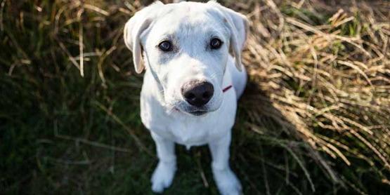 Labrador puppy; dog
