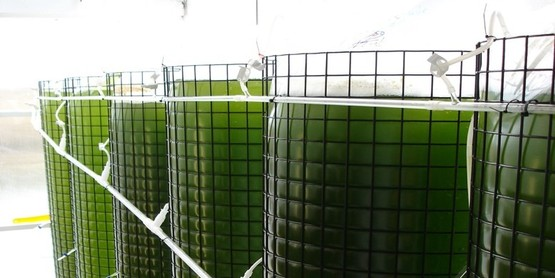 spat algae seacaps (1)