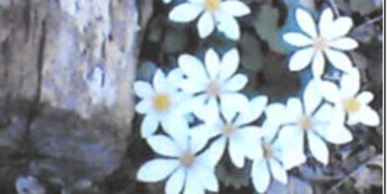 Bloodroot, Sanguinaria canadensis