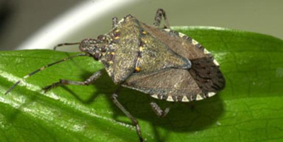 Brown Marmorated Stink Bug on leaf