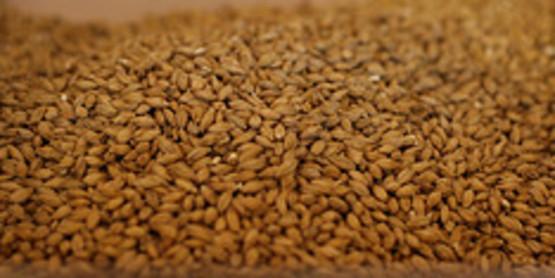 Malting Barley Grain