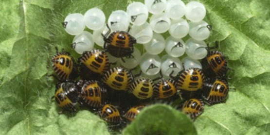 Brown Marmorated Stink Bug eggs