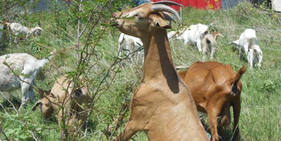 Goat browsing