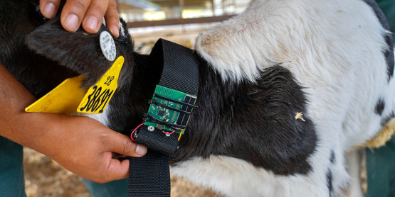 Francisco Leal-Yepes, clinical instructor of ambulatory and production medicine in the College of Veterinary Medicine, attaches a ChipSat to calf at Sunnyside Farms in Scipio Center, N.Y. on September 4, 2019.