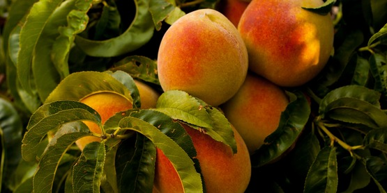 Ripe peaches on a tree