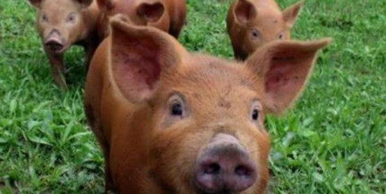Horseman's Trail Farm, Tamworth piglets