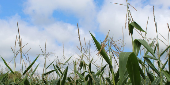tasseled corn and clouds, Frontier Brook Farms