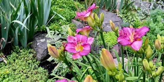 Daylilies at the Lyman Garden.