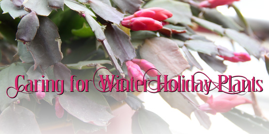 Caring for Winter Holiday Plants