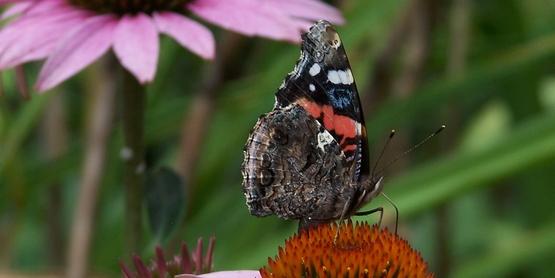 Butterfly on Coneflower