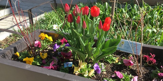 Bulbs and pansies in the spring